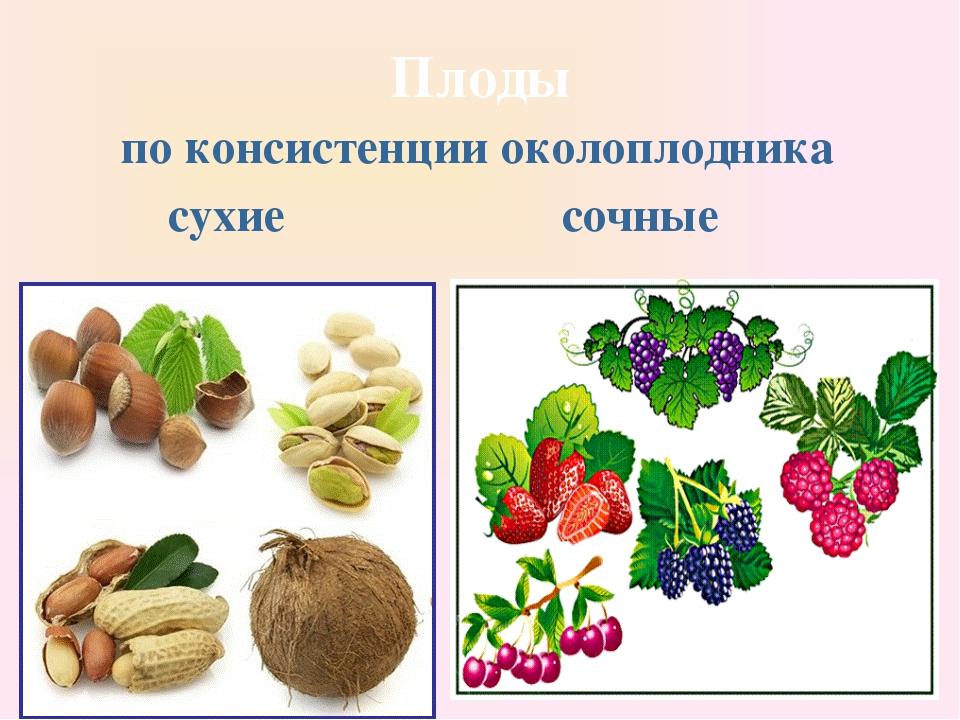 Плоды по консистенции околоплодника сухие сочные