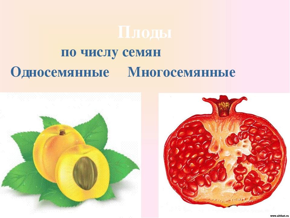 Плоды по числу семян Односемянные Многосемянные