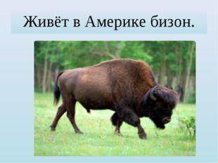 Живёт в Америке бизон.