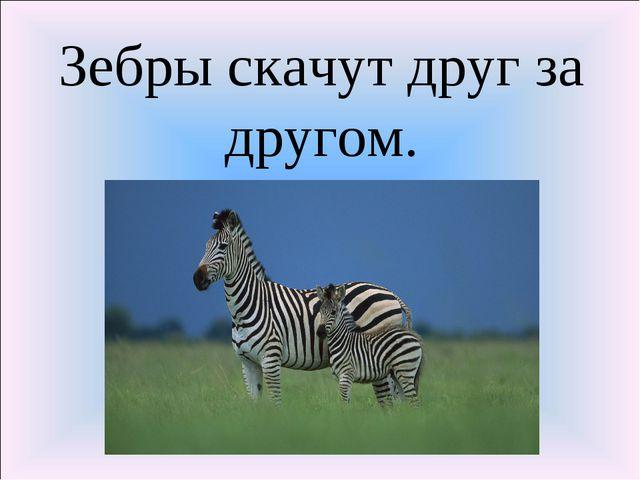 Зебры скачут друг за другом.