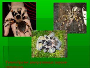 Разнообразие декоративных пауков-птицеедов