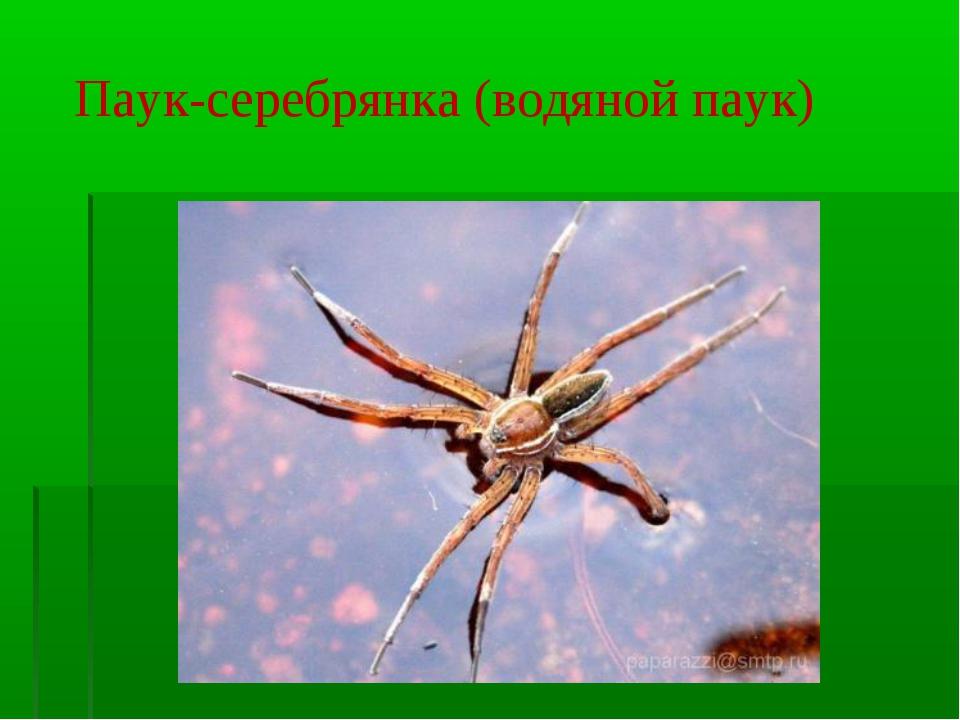 Паук-серебрянка (водяной паук)