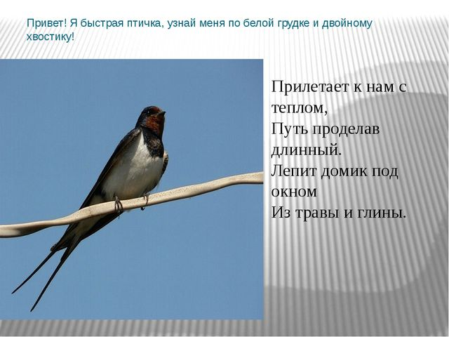 Привет! Я быстрая птичка, узнай меня по белой грудке и двойному хвостику! При...