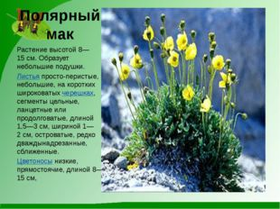 Полярный мак Растение высотой 8—15см. Образует небольшие подушки. Листьяпро
