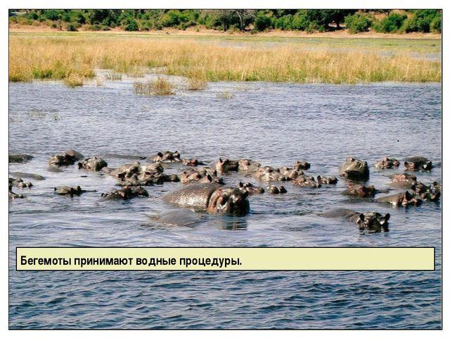 Бегемоты принимают водные процедуры.