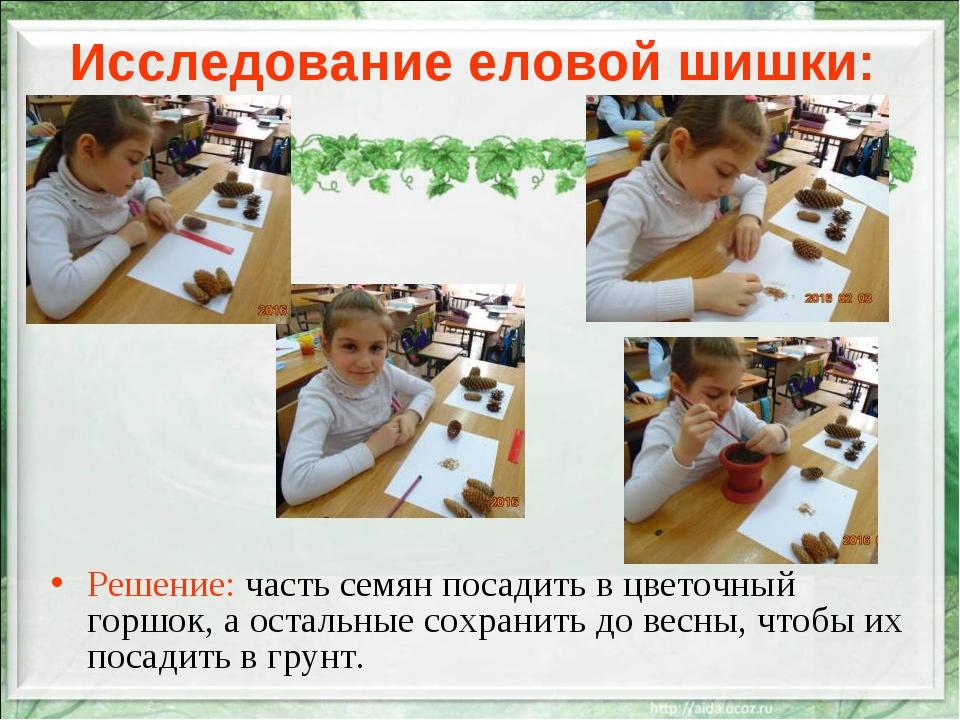 Исследование еловой шишки: Решение: часть семян посадить в цветочный горшок,...
