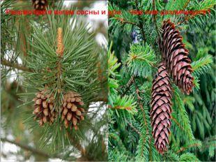 Рассмотрите ветви сосны и ели. Чем они различаются?