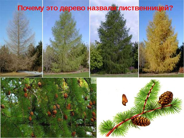 Почему это дерево назвали лиственницей?