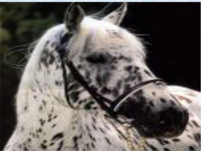Порода «Аппалуза» — порода лошади, выведенная американским племенем Нез-персе.