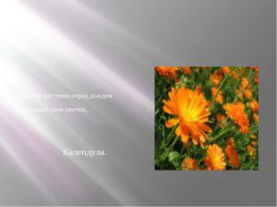 Многие растения перед дождем закрывают свои цветки. Календула.