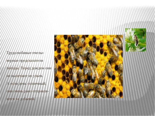 Трудолюбивые пчелы- верные предсказатели погоды. Перед дождем они не вылетаю...