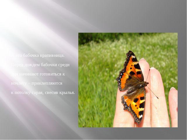 А это бабочка крапивница. Перед дождем бабочки среди дня начинают готовиться...