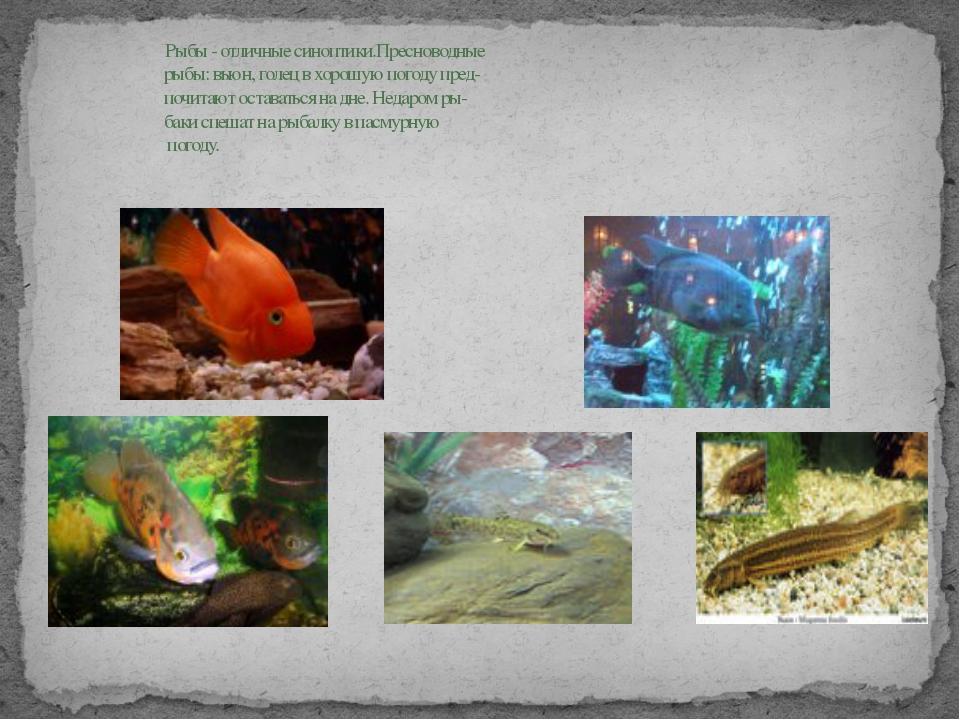 Рыбы - отличные синоптики.Пресноводные рыбы: вьюн, голец в хорошую погоду пр...