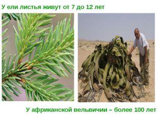 У ели листья живут от 7 до 12 лет У африканской вельвичии – более 100 лет