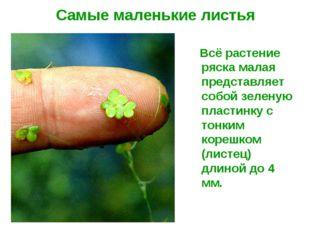 Самые маленькие листья Всё растение ряска малая представляет собой зеленую пл