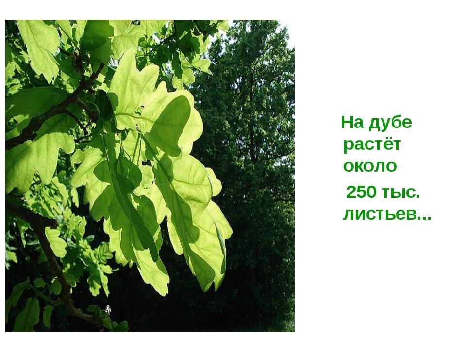 На дубе растёт около 250 тыс. листьев...