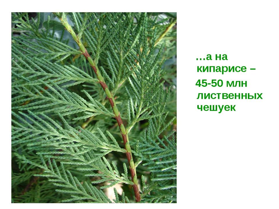 …а на кипарисе – 45-50 млн лиственных чешуек