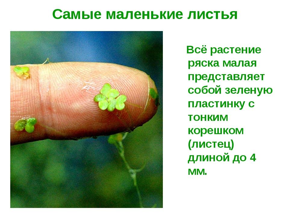 Самые маленькие листья Всё растение ряска малая представляет собой зеленую пл...