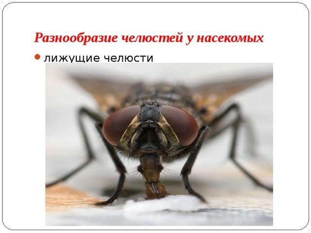 Разнообразие челюстей у насекомых лижущие челюсти