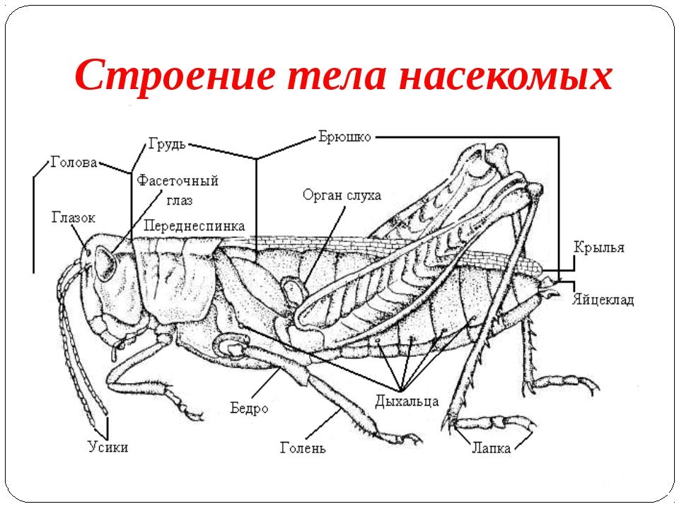 Строение тела насекомых