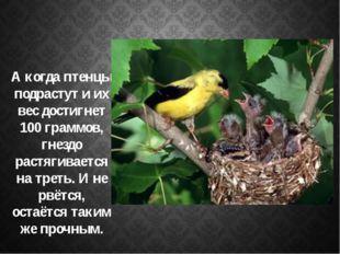 А когда птенцы подрастут и их вес достигнет 100 граммов, гнездо растягиваетс
