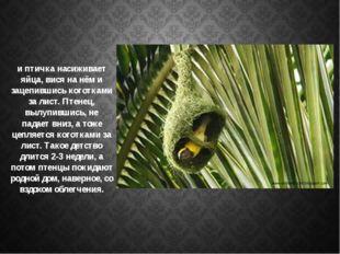 и птичка насиживает яйца, вися на нём и зацепившись коготками за лист. Птенец
