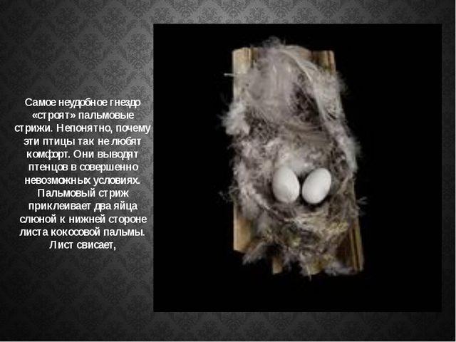 Самое неудобное гнездо «строят» пальмовые стрижи. Непонятно, почему эти птицы...