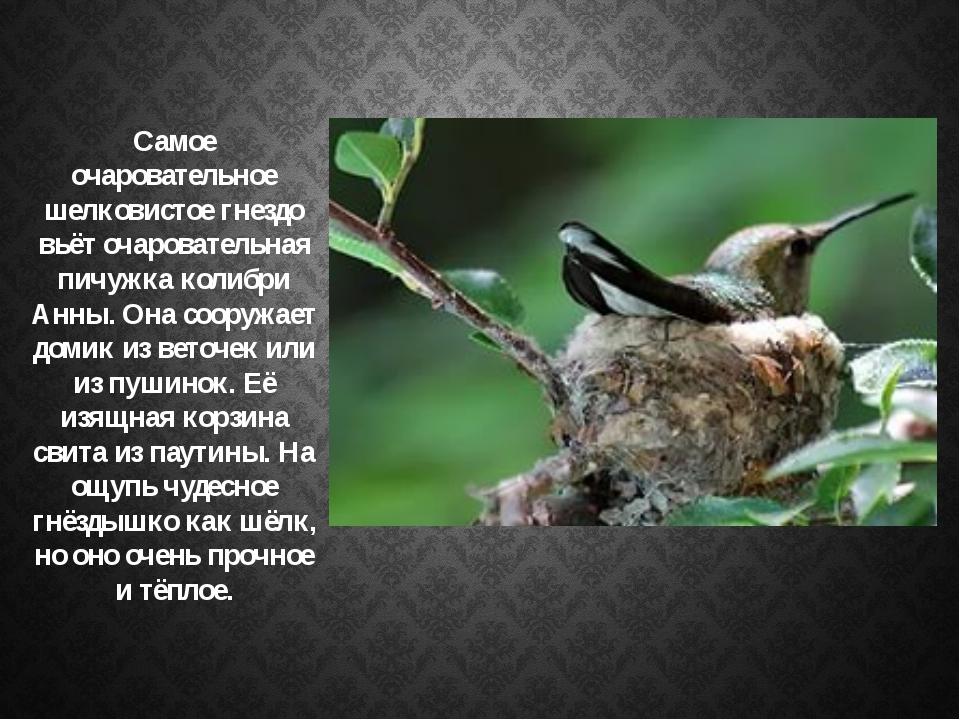 Самое очаровательное шелковистое гнездо вьёт очаровательная пичужка колибри А...