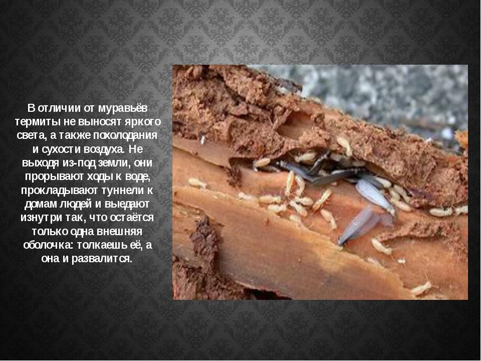 В отличии от муравьёв термиты не выносят яркого света, а также похолодания и...