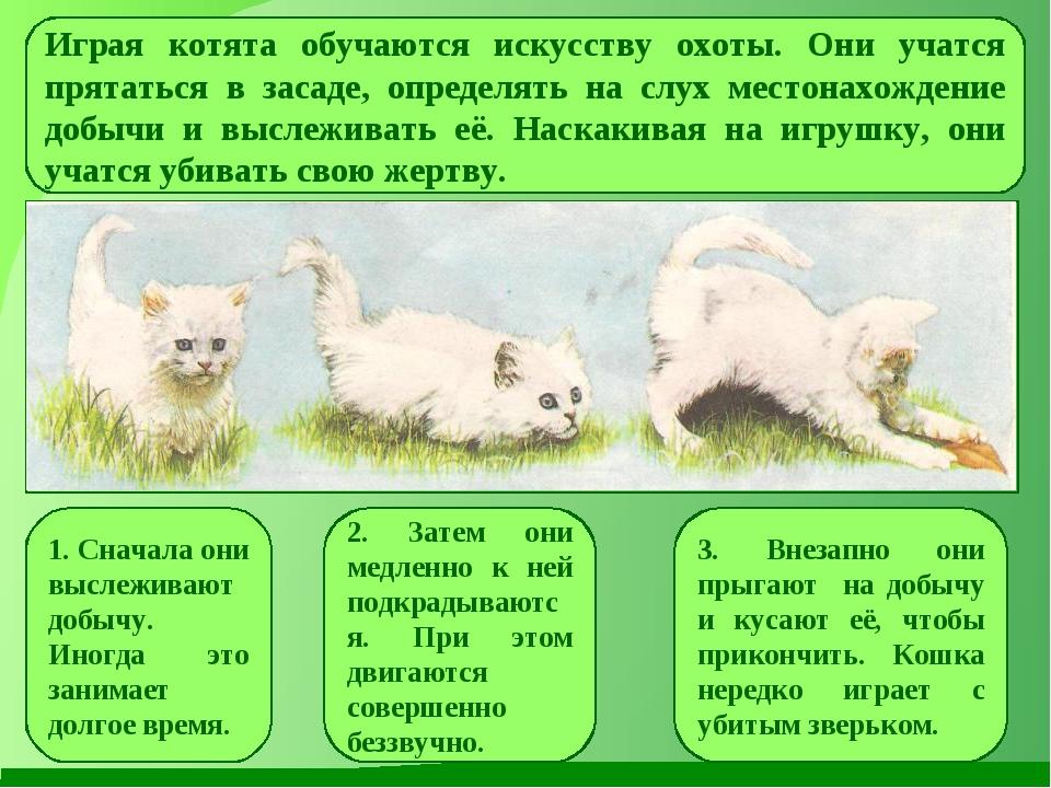 Играя котята обучаются искусству охоты. Они учатся прятаться в засаде, опреде...