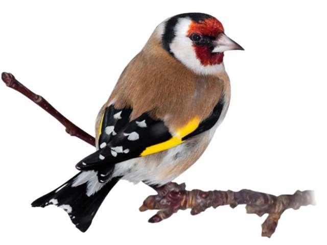 G:\1 априля -День птиц\угадай птицу\на белом\щегол (2).jpg