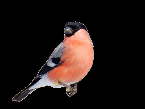 G:\1 априля -День птиц\угадай птицу\на белом\снегирь 2.png