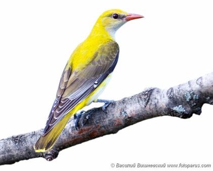 G:\1 априля -День птиц\угадай птицу\на белом\иволга 2.jpg