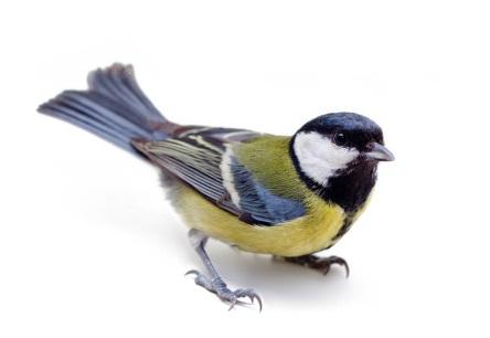 G:\1 априля -День птиц\угадай птицу\на белом\синичка.jpg