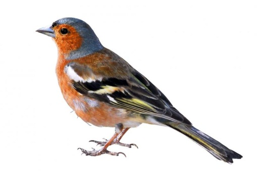 G:\1 априля -День птиц\угадай птицу\на белом\зяблик (2).jpg