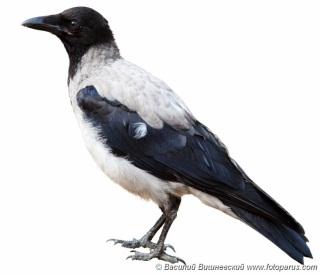G:\1 априля -День птиц\угадай птицу\на белом\ворона.jpg