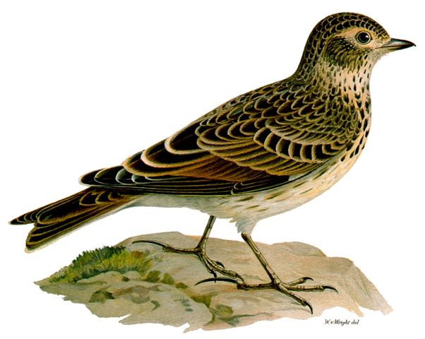 G:\1 априля -День птиц\угадай птицу\на белом\соловей.jpg