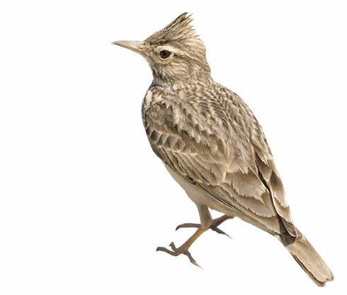 G:\1 априля -День птиц\угадай птицу\на белом\жаворонок.JPG