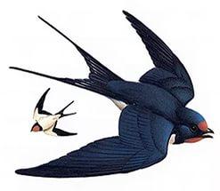 G:\1 априля -День птиц\угадай птицу\на белом\ласточка.jpg