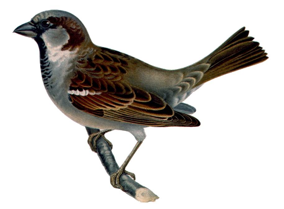 G:\1 априля -День птиц\угадай птицу\на белом\воробей.jpg