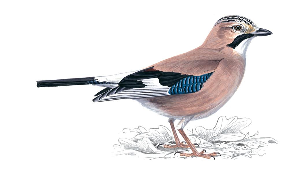 Рисунки птиц сойки