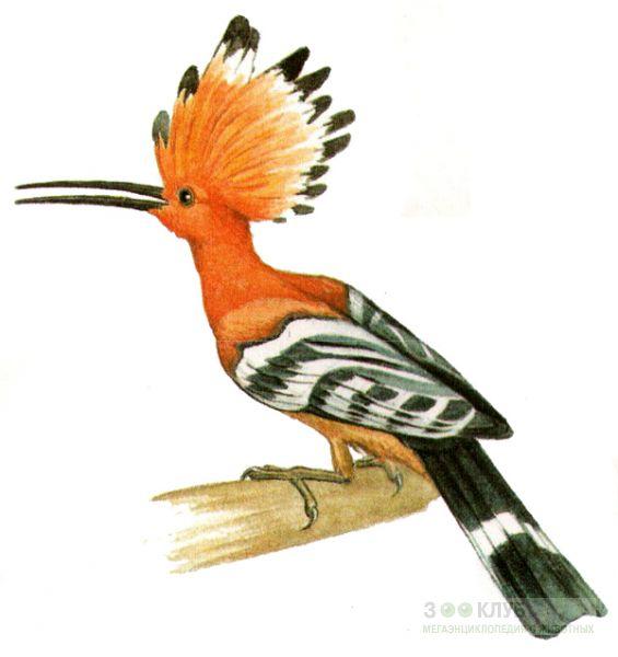 G:\1 априля -День птиц\угадай птицу\на белом\удод (2).jpg