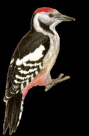 G:\1 априля -День птиц\угадай птицу\на белом\дятел.png