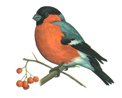 G:\1 априля -День птиц\угадай птицу\на белом\снегирь.jpg