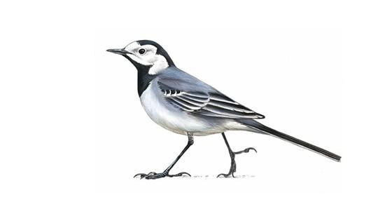 G:\1 априля -День птиц\угадай птицу\на белом\трясогузка (2).jpg