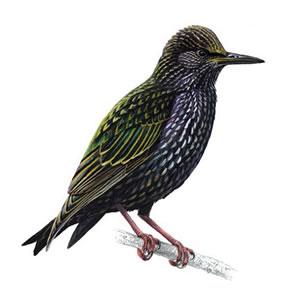 G:\1 априля -День птиц\угадай птицу\на белом\скворец (2).jpg