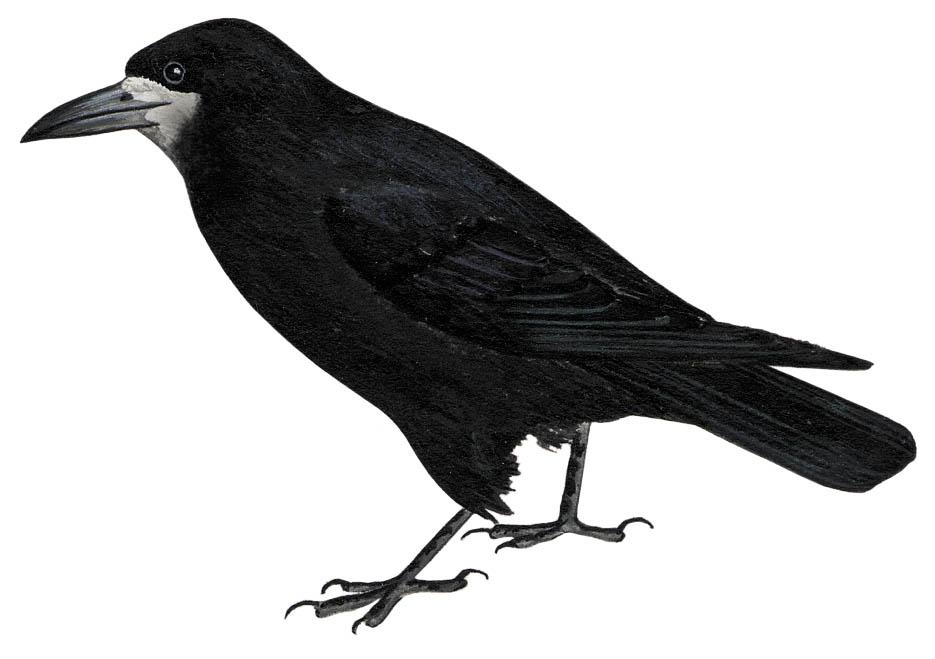 G:\1 априля -День птиц\угадай птицу\на белом\грач.jpg