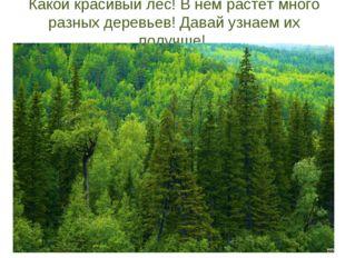 Какой красивый лес! В нем растет много разных деревьев! Давай узнаем их получ