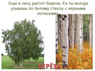 Еще в лесу растет береза. Ее ты всегда узнаешь по белому стволу с черными пол
