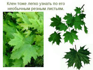Клен тоже легко узнать по его необычным резным листьям.